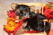 Outsanding teacup yorkie puppies for adoption